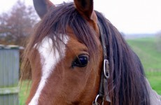 Department of agriculture confirms case of CEM in stallion