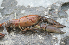 New river rules seek to protect native Irish crayfish from plague-carrying alien invaders