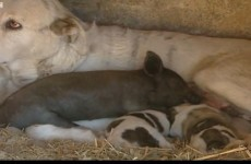 Video: Piglet adopted by dog in Spain