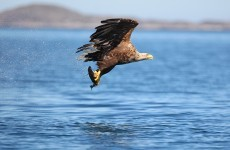 White-tailed Eagles make Clare their new nest after 100-year wait