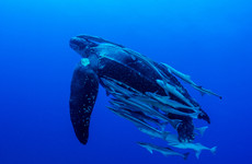 Leatherback turtle and beluga whale spotted in Irish waters