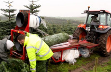 The life of an Irish Christmas tree: Fourteen years from planting to your living room