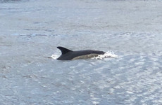 'Not a run-of-the-mill sighting': Dublin flips out as dolphin spotted swimming in the River Liffey