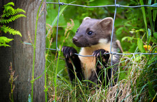 'Contact your local ranger': Here's what to do if you find a pine marten in your home