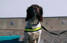 Detector dog Meg sniffs out nearly 70 kilos of cannabis at Dublin port