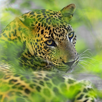 Leopard kills Buddhist monk meditating in Indian forest