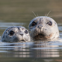 'It would be disastrous': People wrote to government in 1988 over concerns of a seal cull in Co Mayo