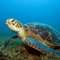 Up to 93% of green turtles could be female by 2100 due to climate change