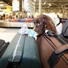 Drugs smugglers leave bag on airport carousel