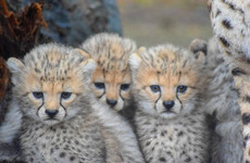 Four 'vulnerable' cheetah cubs born at Fota Wildlife Park