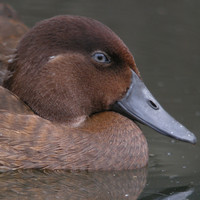 This little brown duck was once thought to be extinct - now, its been released back into the wild