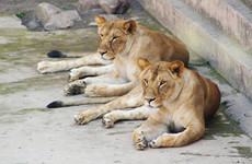 Lion kills young worker in US conservation park
