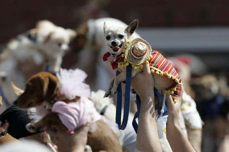 People raise their costumed Chihuahuas during the inaugural Cinco de Mayo Chihuahua parade.
