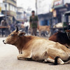 In Delhi, the government plans a new home for stray cows and elderly citizens