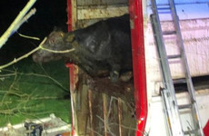 39 bulls rescued from overturned lorry in Co Fermanagh