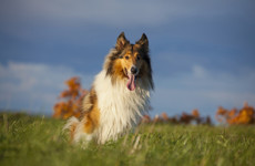 'She broke free and came home': UK minister says Lassie holds a Brexit lesson