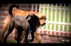 Buddies: Blind dog and his nervous friend heal each other