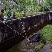 Woman mauled to death by pet crocodile in Indonesia