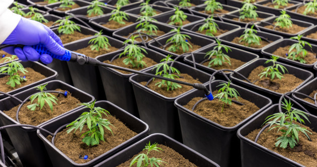 Irish farmers 'could be given licences to grow cannabis in the future'