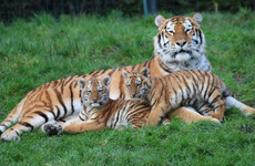 First Amur tiger cubs born at Dublin Zoo in 20 years to go on view this weekend