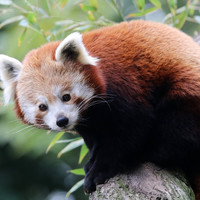 Red panda found after escaping from Belfast Zoo