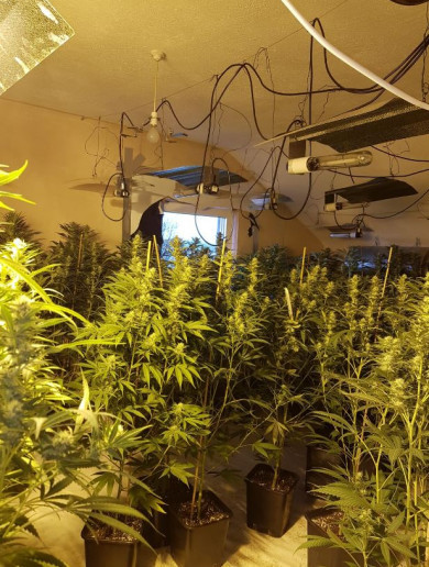 Man (30s) arrested after gardaí discover €400k worth of cannabis being grown in house
