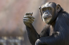 Chimpanzees escape Belfast Zoo enclosure using snapped tree branch