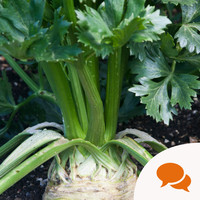 From the Garden: Celeriac is fabulously durable, and is useful for all sorts of recipes