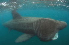 Basking shark pays a rare visit to Dún Laoghaire