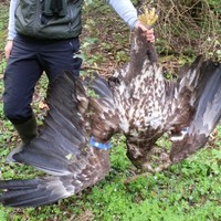 White-tailed eagles killed in Mayo and Donegal