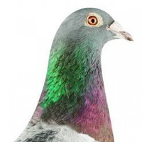 Bird known as 'the Messi of pigeons' sells for record €1.25m