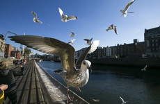 'Unprovoked attacks by a gang of feathered brutes': Dubliners cry foul over seagull aggression