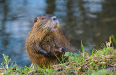 Large invasive rodent species that can 'cause a lot of damage' spotted along Royal Canal