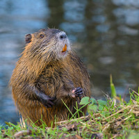 Report of invasive rodent species spotted along Royal Canal most likely case of 'mistaken identity'