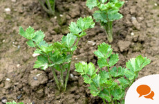 From the Garden: What is the difference between celery and celeriac?