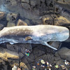 'A little unusual but nothing sinister': 40 foot sperm whale carcass washes ashore in Co Galway