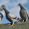 'Keeping pigeons keeps me out of the pub': The pigeon fancier trying to revive the past-time