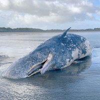Activists say latest case of whale washing ashore on west coast of Ireland is a 'concern'