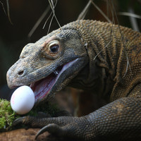 Indonesian Island could be closed to prevent Komodo dragon smuggling
