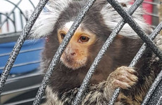 Gardaí seize guns, drugs and George the monkey during gangland searches in Dublin