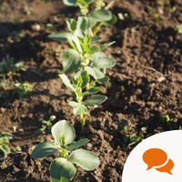 From the Garden: How to grow broadbeans? Start by avoiding cheap compost