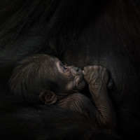 'It's about being respectful... then the intimacy happens': The story behind those baby gorilla photos