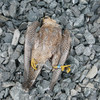 Investigation into deaths of two protected falcons found in Wexford quarry