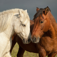 Over 6,500 horses were slaughtered in Ireland for human consumption last year