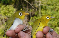 Wangi-wangi and Wakatobi: Two white eye bird species discovered by Trinity College team near Indonesia