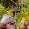 Wangi-wangi and Wakatobi: Two white eye bird species discovered by Trinity College team near Indonesia