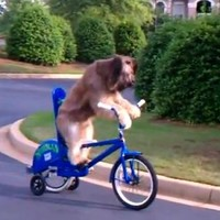Here is a dog riding a bicycle...