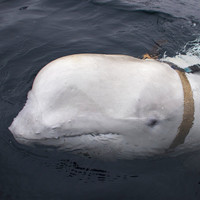 Beluga whale found in Norwegian waters 'may have been trained by Russian navy'