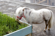Pigs, chickens ... a pony called Moses. Take a tour of Dublin city's first public urban farm