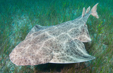 Number of angel sharks in Irish waters have declined by almost 95%